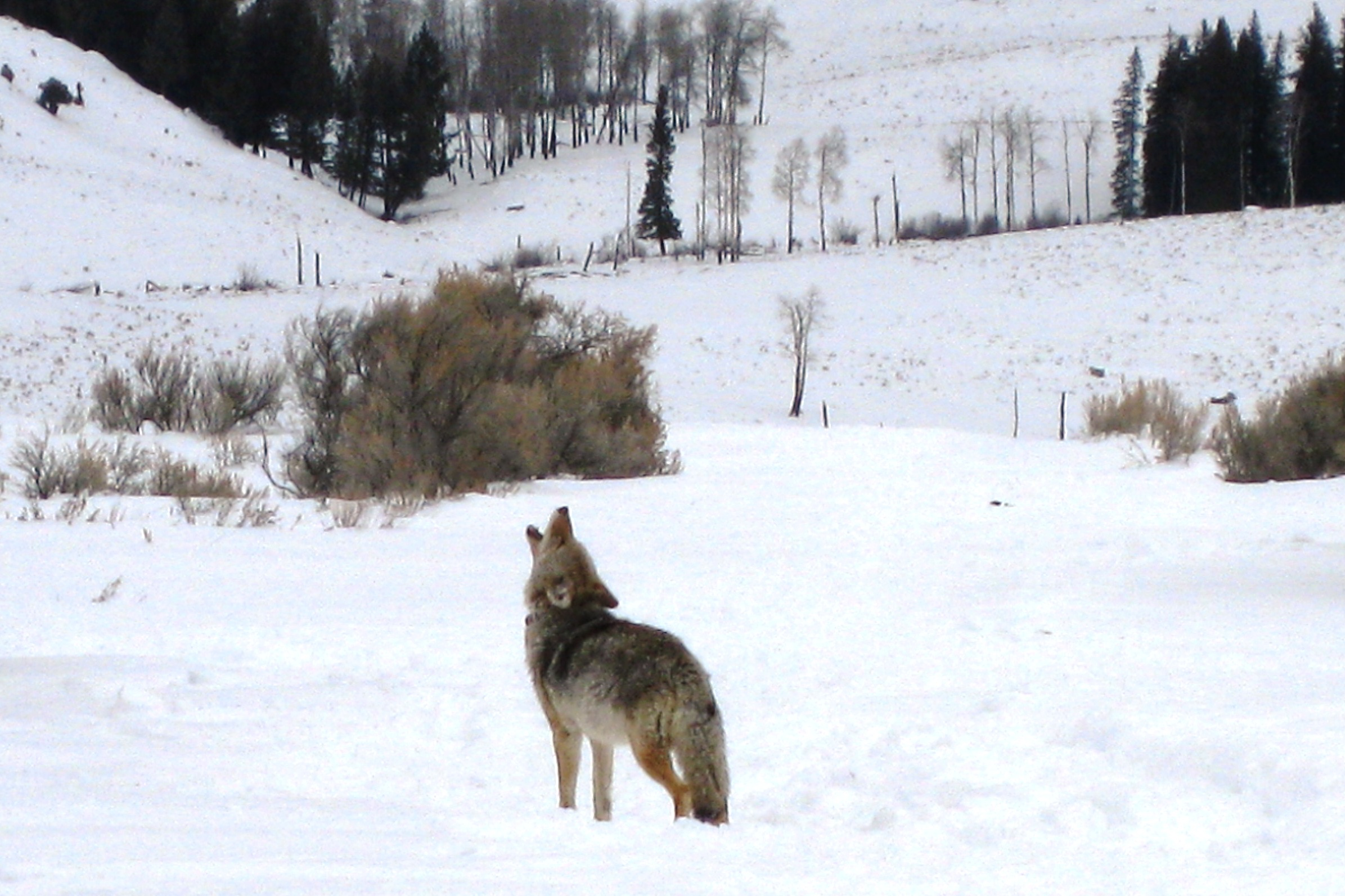 Yellowstone | Jan Fennell the Dog Listener