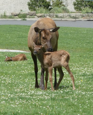 Jan fennell's photo of a newborn elk with its mother